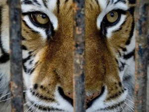 tiger-
