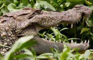 RP_croc, flickr, michel