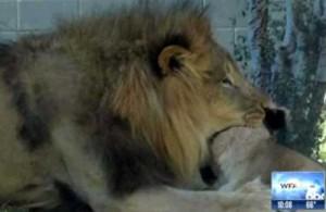 RP_lion