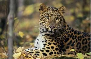 RP_23 leopard
