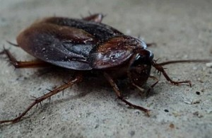 RP_cockroach-insect-beetle-pest
