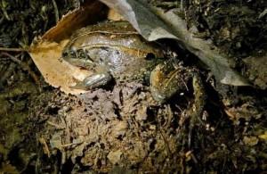 RP_la-sci-sn-alaskan-frozen-frogs-